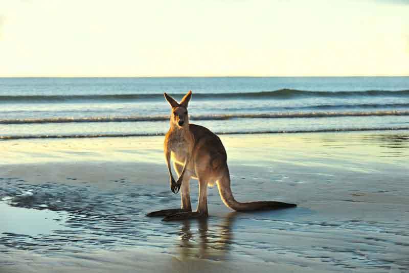 Австралийский Гигантский кенгуру на пляже, мыс Хиллсборо
