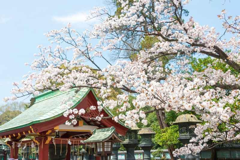 Парк Уэно в период цветения сакуры