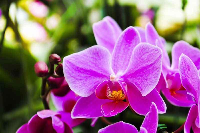 Фиолетовые орхидеи - Фаленопсис - в парке Койкенхоф