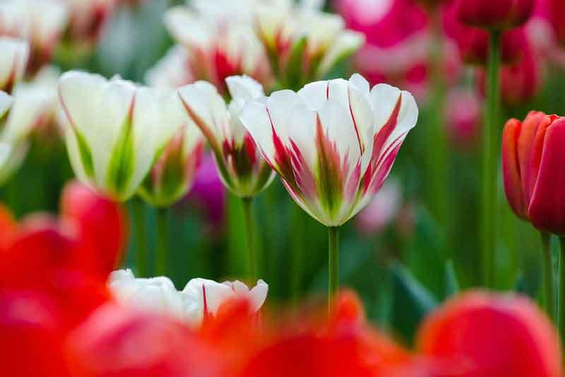 Тюльпан в парке Кекенхоф