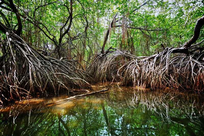 Мангровые заросли в дельте тропического реки