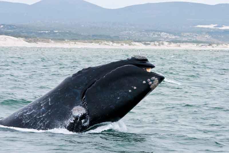 Южный кит недалеко от побережья